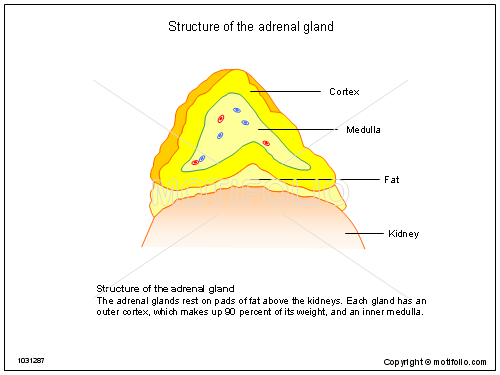 Structure Of The Adrenal Gland Illustrations