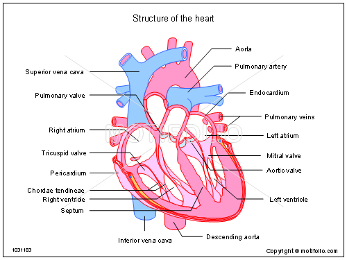 Structure of the heart PPT PowerPoint drawing diagrams, templates ...