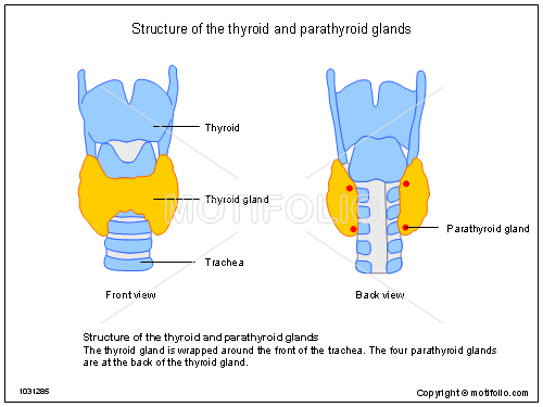 structure of the thyroid and parathyroid glands illustrations, Powerpoint templates