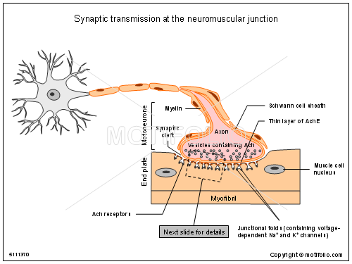 ... Diagram synaptic transmission at the neuromuscular junction ppt