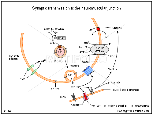 Synaptic Transmission At The Neuromuscular Junction Illustrations