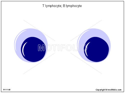 T lymphocyte B lymphocyte, PPT PowerPoint drawing diagrams, templates, images, slides