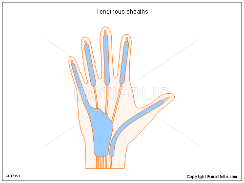 Tendinous sheaths, PPT PowerPoint drawing diagrams, templates, images, slides