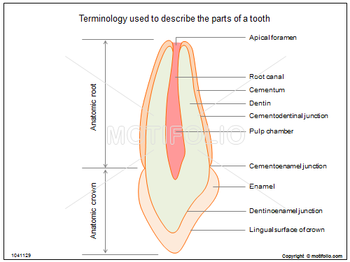 Terminology used to describe the parts of a tooth PPT PowerPoint ...
