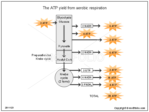 The ATP yield from aerobic respiration, PPT PowerPoint drawing diagrams, templates, images, slides
