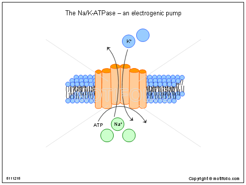 The Na-K-ATPase an electrogenic pump, PPT PowerPoint drawing diagrams, templates, images, slides