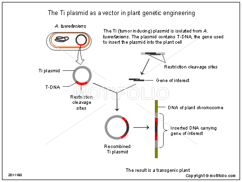 The Ti plasmid as a vector in plant genetic engineering, PPT PowerPoint drawing diagrams, templates, images, slides