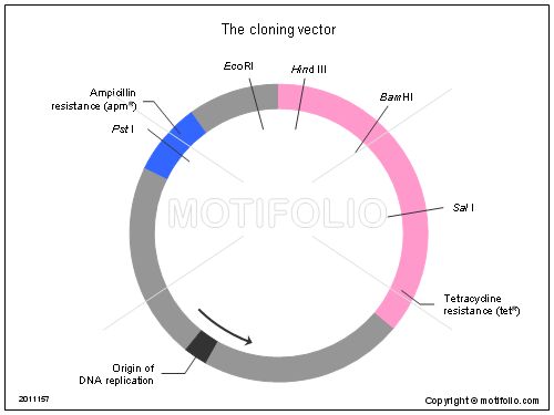 The cloning vector illustrations keywords the cloning vector illustrationfiguredrawingdiagramimage ccuart Images