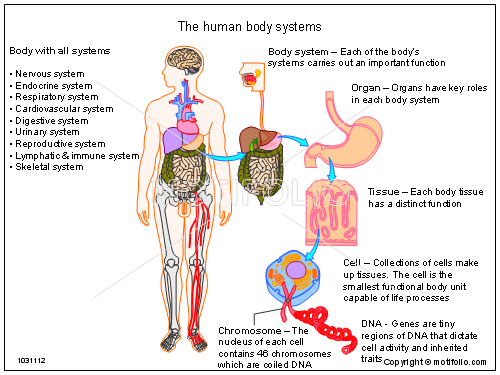 the human body systems ppt powerpoint drawing diagrams, templates, Muscles