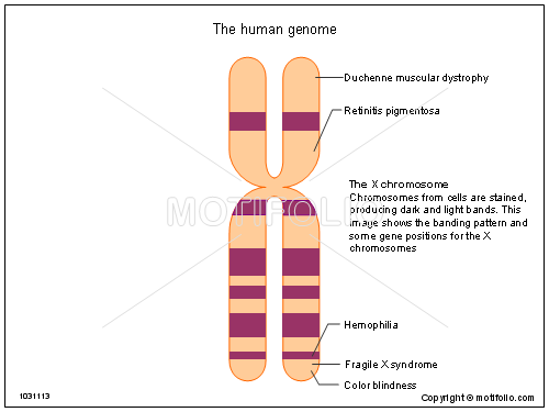 The human genome, PPT PowerPoint drawing diagrams, templates, images, slides
