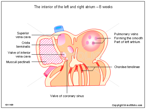 The interior of the left and right atrium - 8 weeks, PPT PowerPoint drawing diagrams, templates, images, slides