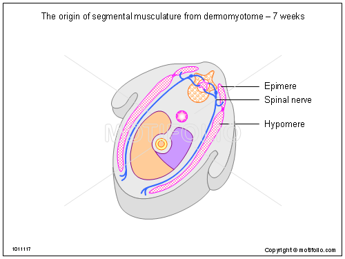 The origin of segmental musculature from dermomyotome - 7 weeks, PPT PowerPoint drawing diagrams, templates, images, slides