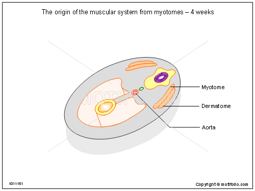 The origin of the muscular system from myotomes - 4 weeks, PPT PowerPoint drawing diagrams, templates, images, slides