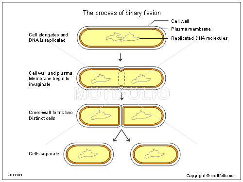 The process of binary fission, PPT PowerPoint drawing diagrams, templates, images, slides
