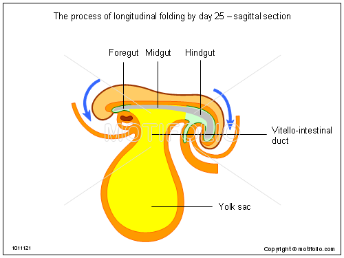 The process of longitudinal folding by day 25 - sagittal section, PPT PowerPoint drawing diagrams, templates, images, slides