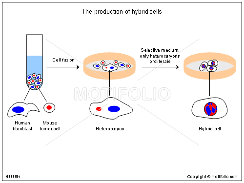 The production of hybrid cells Illustrations