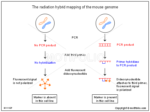 The radiation hybrid mapping of the mouse genome Illustrations