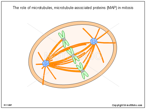 Microtubules on a diagram electrical work wiring diagram the role of microtubules microtubule associated proteins map in rh motifolio com animal cell diagram intermediate filaments diagram ccuart Choice Image