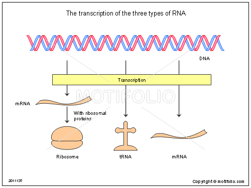 The transcription of the three types of RNA, PPT PowerPoint drawing diagrams, templates, images, slides