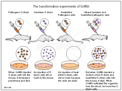 The transformation experiments of Griffith, PPT PowerPoint drawing diagrams, templates, images, slides