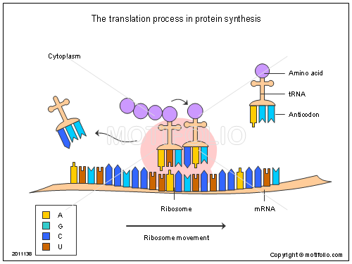 The translation process in protein synthesis, PPT PowerPoint drawing diagrams, templates, images, slides