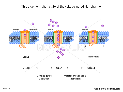 Three conformation state of the voltage-gated Na channel, PPT PowerPoint drawing diagrams, templates, images, slides