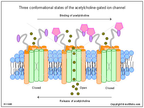 Three conformational states of the acetylcholine-gated ion channel, PPT PowerPoint drawing diagrams, templates, images, slides