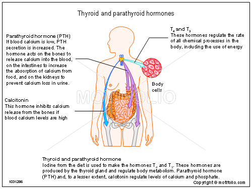 Thyroid And Parathyroid Hormones Illustrations