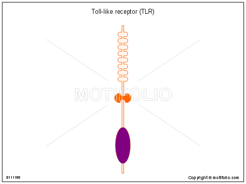Toll-like receptor TLR, PPT PowerPoint drawing diagrams, templates, images, slides