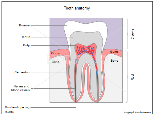 Dental Anatomy Illustrations for Presentations and Publications