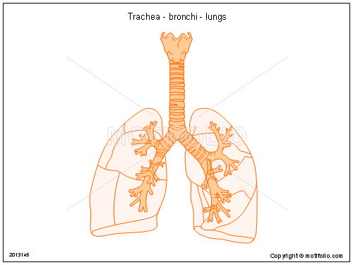 Trachea - bronchi - lungs, PPT PowerPoint drawing diagrams, templates, images, slides