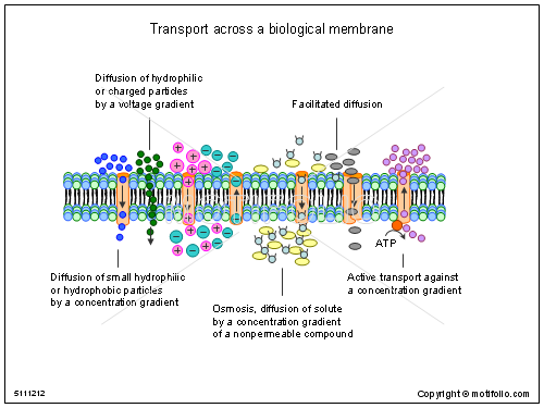 Transport across a biological membrane, PPT PowerPoint drawing diagrams, templates, images, slides