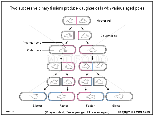Two successive binary fissions produce daughter cells with various aged poles, PPT PowerPoint drawing diagrams, templates, images, slides