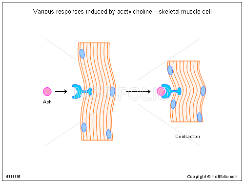 various responses induced by acetylcholine - skeletal muscle cell, Muscles