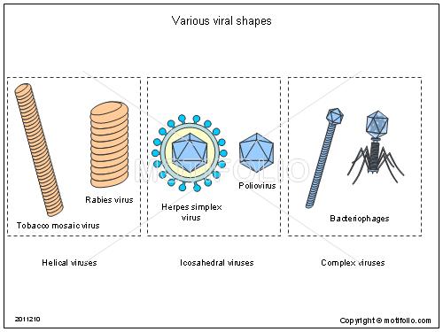 Shapes Diagrams Of A Virus Diy Enthusiasts Wiring Diagrams